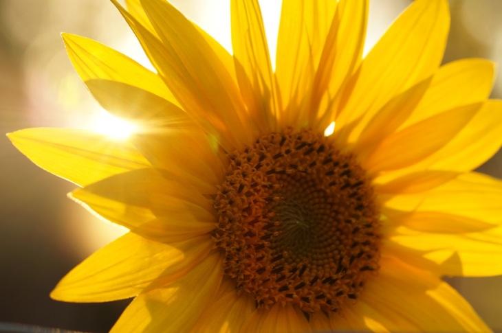 Sunflower resized 4